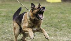 German Shepherd as one of the Most Dangerous Dogs Dog Training Near Me, Dog Training Tips, Training Classes, Potty Training, Training Programs, Dog Growling, Dangerous Dogs, Dog Health Care, Mental Health