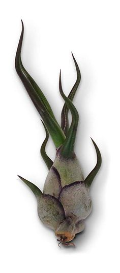 Air Plants Tillandsia Bulbosa 3 Pack by CTS Air Plants Epiphyte, Air Plants, Outdoor Gardens, Mini, Green, Amazon, Amazons, Riding Habit, Gardens