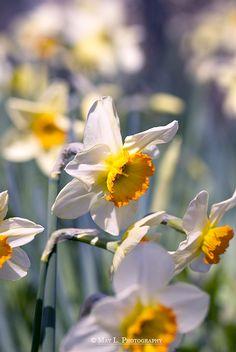 Daffodils, Flower, Spring, VanDusen Botanical Garden, Vancouver BC, Canada, Nikon D60, Nikon 105mm Macro.