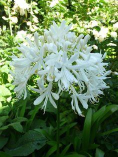 White Agapanthus from my White Garden