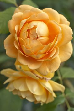 thisivyhouse: robertmealing:  Golden Celebration - English Rose