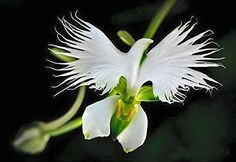 Hi ya'l, .... here's our super rare #dove flower .....(Habenaria radiata) The White Dove/Egret Flower.. also sometimes referred to as the Fringed Orchid or Sagis...