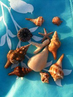 ๑ Sanibel Shelling ๑ — Sanibel seashell finds