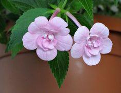 "Ахименесы (48 фото): виды и правила ухода http://happymodern.ru/akhimenesy/ Сорт ""Double Pink Rose"" с нежно-розовым оттенком"