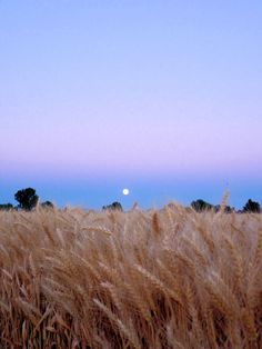 'Wheat field with moon in Star, Idaho. Taken by Lindsey Botkin.'