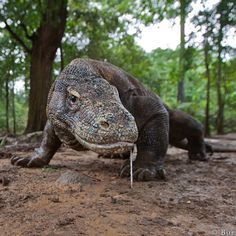 Tagged with nature, animals, photography, wildlife, komodo dragon; Reptiles Et Amphibiens, Mammals, Komodo Island, Bearded Dragon, Wildlife Photography, Animal Kingdom, Habitats, Cute Animals, Creatures