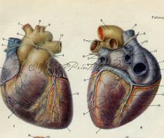The Human Heart Medical Anatomy From a by AntiquePrintsAndMaps, $7.00