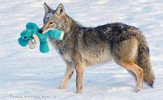 """Este coyote """"toma prestados"""" los juguetes de los perros"""
