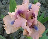 chanted dwarf bearded iris