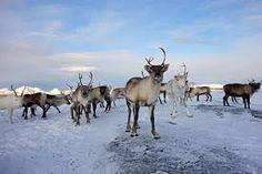 As Norway looks north for resources and energy, Sami reindeer herders fear for their lands and culture. Big Oil, Fight The Good Fight, Global Warming, Climate Change, Arctic, Cheer, Wildlife, Horses, Animales