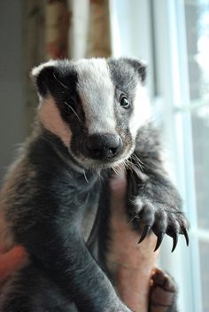 Badger cub at Folly Wildlife Rescue - Look at those claws!.