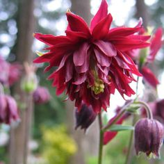 Columbine 'Ruby Port' Aquilegia vulgaris plena  - An heirloom variety that dates back to the 1600's.