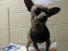 INJURED RIGHT EYE! PLEDGES AND RESCUE NEEDED! A4792090 I don't have a name yet and I'm an approximately 1 year old male chihuahua sh. I am not yet neutered. I have been at the Downey Animal Care Center since January 15, 2015. I will be available on January 19, 2015. You can visit me at my temporary home at D715. https://www.facebook.com/photo.php?fbid=797421737004827&set=pb.100002110236304.-2207520000.1421430525.&type=3&theater