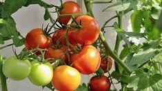 Některá zelená rajčata utrhněte, protože rostlině tak ulevíte. Russian Recipes, Pesto, Vegetables, Food, Polish, Compost, Lawn And Garden, Vitreous Enamel, Essen