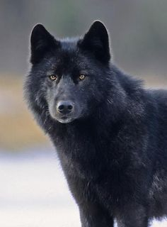 If I were an animal I would be the #blackwolf .