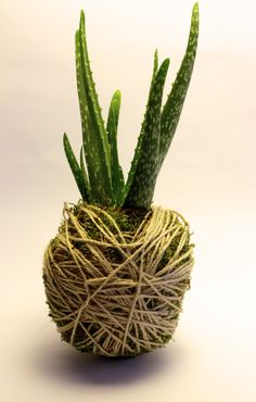Flying aloe vera... #scullent #gardening #plant #green #kokedama #flower #art #nature #decor #design #homemade