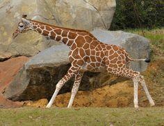 Yay Giraffe.
