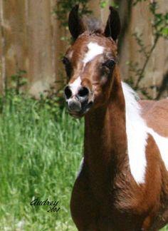 Photo Gallery | Black Arabian Horses of Hughes Arabians - World renown champions