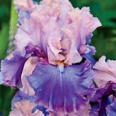 "Florentine Silk- Reblooming Tall Bearded Iris - Zone 3 to 9 Bloom Time Mid to Late Spring Height 35-40"" Soil Requirement Well drained preferred. Quite tolerant of a wide range of soils."