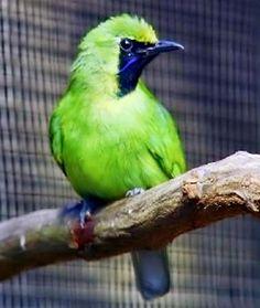 Cara Merawat Burung Cucak Ijo Mini Agar Cepat Gacor | Planet Kicau