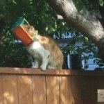 The dramatic effort to rescue a cat with a plastic bug trap on his head came to a successful conclusion over the weekend. Butterscotch is now safe.