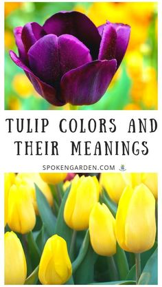 """"""""""" Tulip Flower Colors and Their Meanings – DIY Garden Minute Ep. 68 """""""" Tulip Flower Colors and Their Meanings – DIY Garden Minute Ep. Purple Tulips, Tulips Flowers, Fall Flowers, Colorful Flowers, Lotus Flowers, Planting Tulips, Tulips Garden, Growing Tulips, Flower Meanings"""