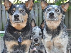 It's a heeler family! Dog days of summer -Seattle KOMO News Aussie Cattle Dog, Austrailian Cattle Dog, Aussie Dogs, Cute Puppies, Cute Dogs, Dog Rules, Dog Photos, Beautiful Dogs, I Love Dogs