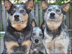 Blue Heeler Family