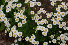 GIPSY in the PARLOUR: Feverfew