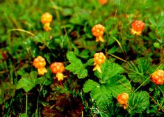 Cloudberries Pokemon, Berry Picking, Arctic, Finland, Stained Glass, Berries, Herbs, Nature, Plants