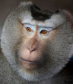 Handsome Pig-Tailed Macaque