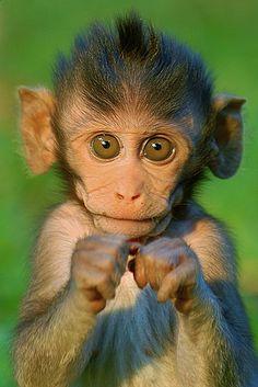 The animals, cute baby animals, cute eyes, cute baby monkey, snow monkey Cute Baby Monkey, Cute Baby Animals, Animals And Pets, Funny Animals, Snow Monkey, Ugly Monkey, Game Monkey, Nature Animals, Humorous Animals