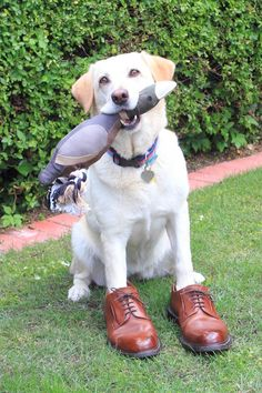 A customers dog wearing his brogues