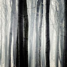 A stately forest in Black and Wite