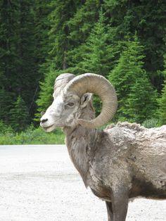 Big, Horn, Sheep, Animal, Mountain, Horns, Canada, Goat