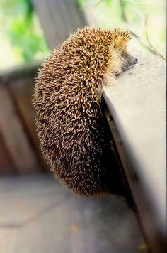 hedgehog #ハリネズミ #頑張る
