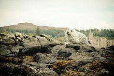 Seals at Dunvegan Castle, Isle of Skye, Scotland