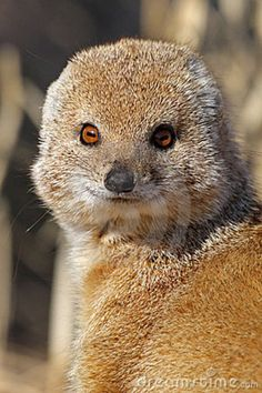 kalahari desert , yellow mongoose