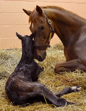 My Special Girl and her colt  ...Great video site at New Bolton Center. Penn Vet School. Excellent Medical information for horse owners. Click to view video of new baby born 3-29-14