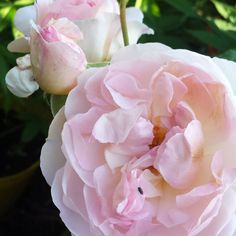 Friday bloom. Beautiful soft pink #davidaustin #rose #cottagegarden #hdrinfusions @pulsepointoils @HDRInfusions #etsyshoppulsepointoils
