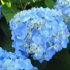 LH1047_1 Hydrangea Macrophylla Endless Summer, My Design, The Originals, Garden, Flowers, Plants, Frames, Lawn And Garden, Florals