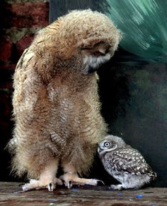 Altia, a 7 week old Siberian Eagle Owl, the largest species of owl in the world meets Powys, a 5 week old Little Owl. The pair are being raised at The Scottish Owl Centre in Scotland's central belt. - [someone else's caption]