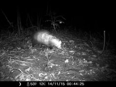 11/14/2015: opossum at the roberd's dairy farm. not sure if this is my old friend, crooked tail.