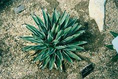 King Ferdinand agave