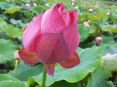 문익기님fb에서 ~~ 군자의 꽃  연꽃입니다.