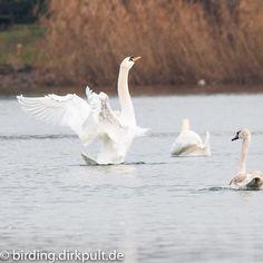 Höckerschwan #birdin