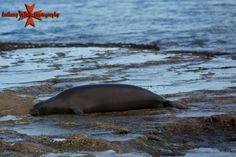Hawaii Monk Seal photographed from Secret beach at the Ko Olina Resort, Waianae Coast, Oahu, Hawaii Hawaiian Monk Seal, Hawaiian Islands, Oahu Hawaii, Coast, Beach, Pictures, Animals, Image, Hawaian Islands