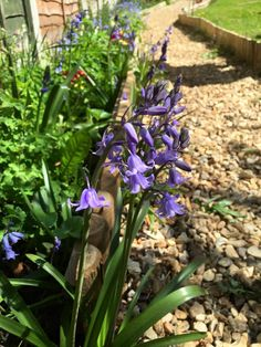 Last of the bluebells 2015