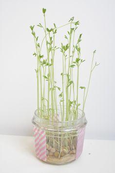 Voici mes petites plantations de l'hiver! C'est Lucette&Suzette qui m'ont donné envie de vert ! Je suis vraiment pas très doué avec les plantes alors je commence doucement avec une plantation de lentilles héhé. Voici le DIY Il faut : J'ai décoré le bocal avec le scotch coloré. Il faut mettre le coton au fond. …