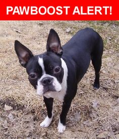 Please spread the word! Elway was last seen in Sarasota, FL 34236.    Nearest Address: Near S Osprey Ave & Bay St